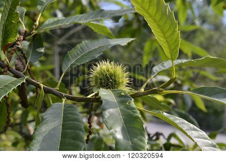 Not yet ripe chestnut in its spiny burr