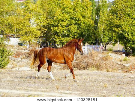red horse with a white blaze on his head runs on a dry grass on a background of trees