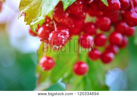 Guelder Rose, Viburnum Opulus, Bunch Of Red Berries With Dew