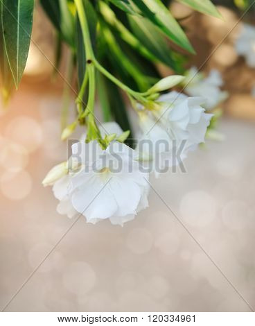 Beautiful white Oleander (Nerium Oleander) close up