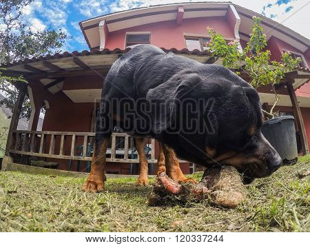 Portrait Of Rottweiler Male Dog Chewing An Oversize Bone Outdoor
