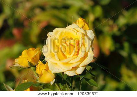 Blooming Roses
