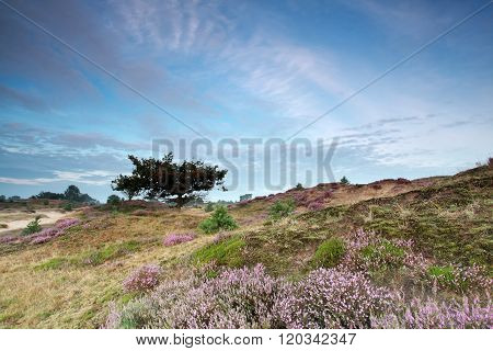 Hills With Flowering Heather And Oak Tree
