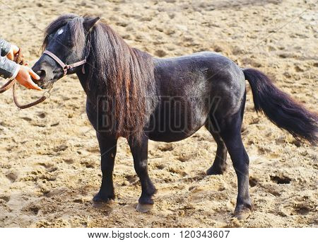 small black pony with long mane stands on the sand