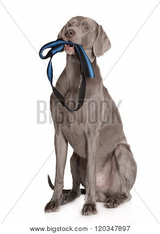 weimaraner dog holding a leash