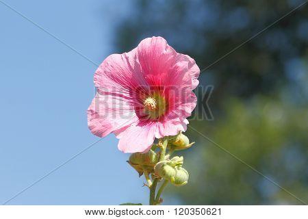 Blooming Hollyhock