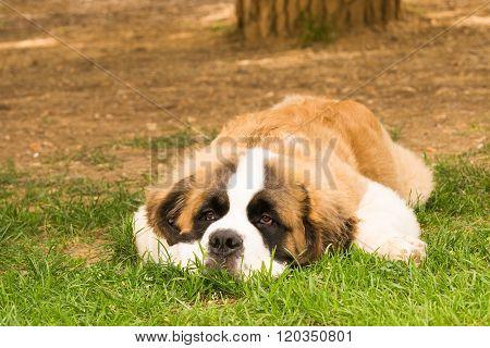 Puppy dog Saint Bernard breed portrait.