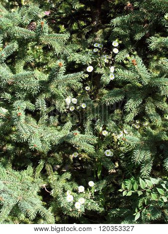 Fir-tree Branches Background