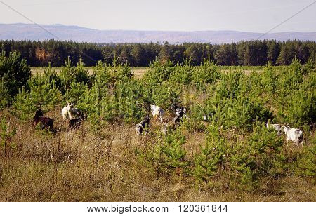 A Herd Of Goats In The Forest.