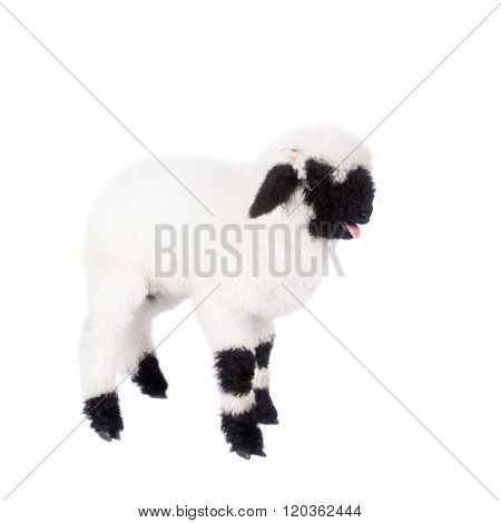 Funny Valais lamb Isolated On White background