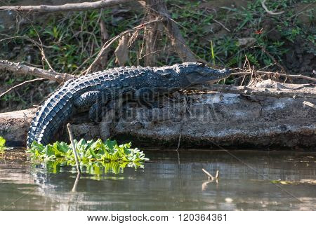 Huge Crocodile Taking Sun In Chitwan National Park, Nepal