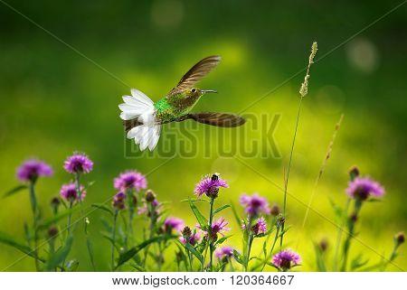 White-necked Jacobin Hummingbird (florisuga Mellivora)