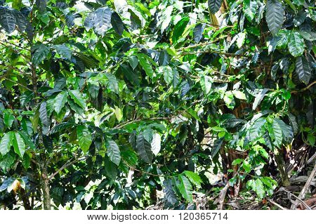 Coffee Trees With Coffee Beans In The Plantations Of Honduras