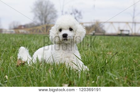 White Poodle In The Grass
