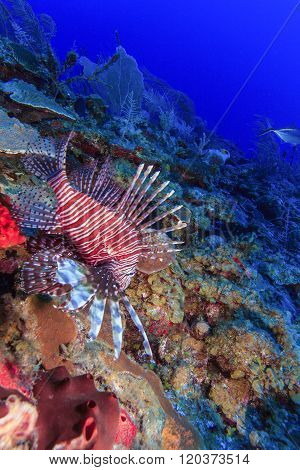 Lionfish (pterois) Near Coral, Cayo Largo,
