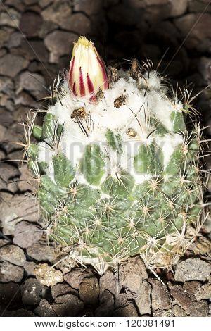Flower Of A Cactus Gymnocalycium Saglionis