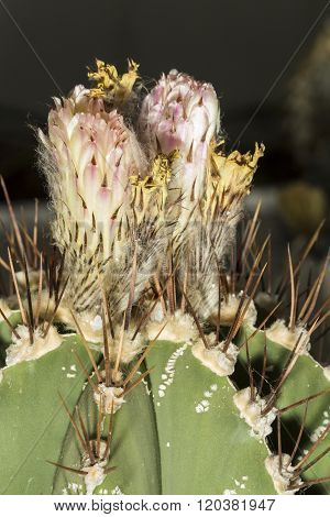Flower Of A Astrophytum Ornatum Or Bishop's Cap