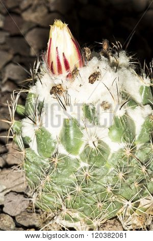 Flower Of A Gymnocalycium Saglionis Cactus