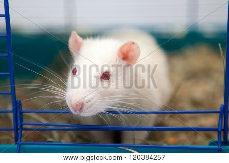 Cute pet rat sitting in a cage