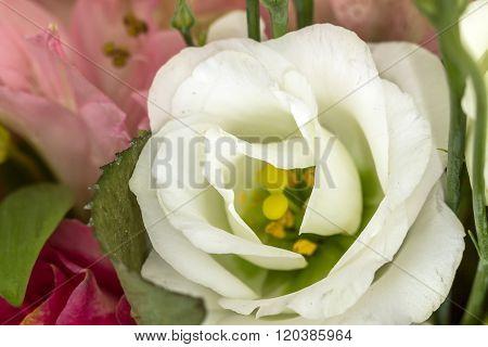 One White Rose Macro