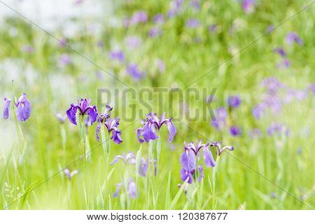 Purple wild iris