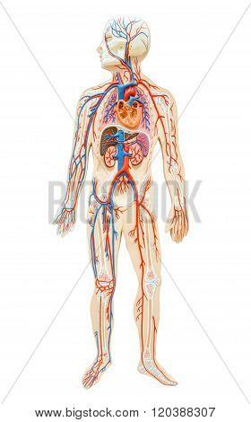 Human Anatomy Of Man.