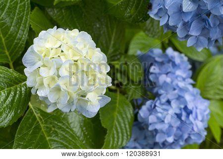 Slight blue hydrangea flower