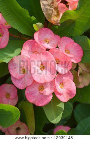 pink Euphorbia flower in garden