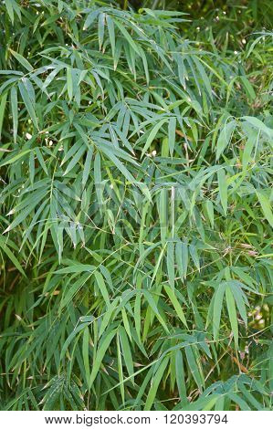 green bamboo leaves in nature garden