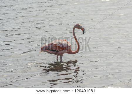 Flamingo on Bonaire, Dutch Antilles