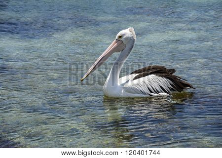 Pelican in a National Park in New South Wales, Australia
