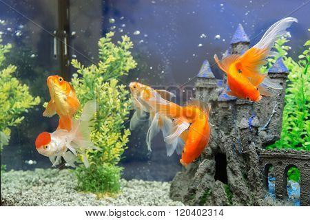 Goldfish In The Aquarium Water