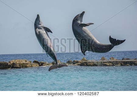 Jumping dolphins in the Caribbean sea - Curacao, Dutch Caribbean