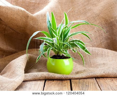 Green Chlorophytum Plant In The Pot, On Sackcloth Wooden Background.