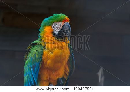 Beautiful Colorful Macaw Parrot