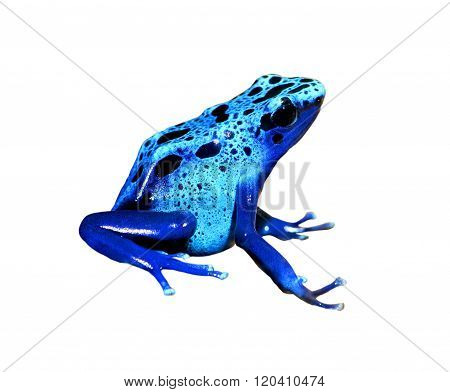 Colorful blue frog Dendrobates tinctorius isolated over white background