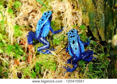 Colorful blue frogs Dendrobates tinctorius in natural environment