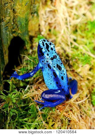 Colorful blue frog Dendrobates tinctorius in natural environment