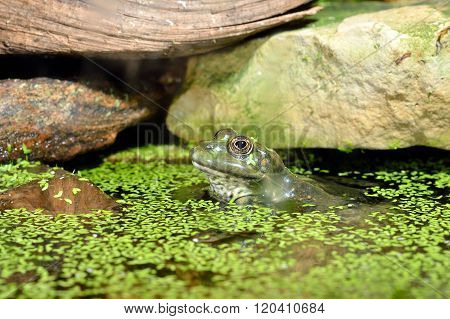 European common green frog in natural environment by water