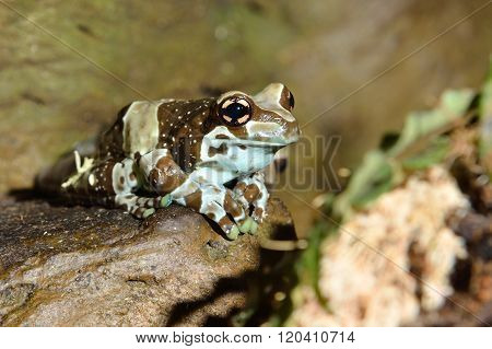 Spotted brown and blue tropical frog in natural environment