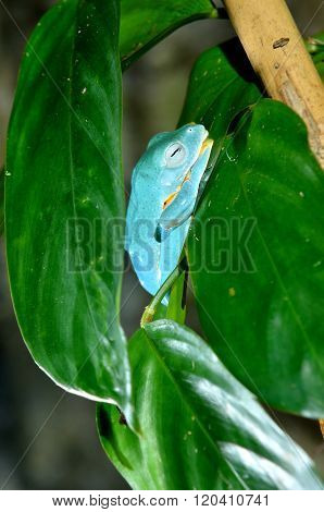 Blue tropical frog sleeping on a green leaf in natural environment