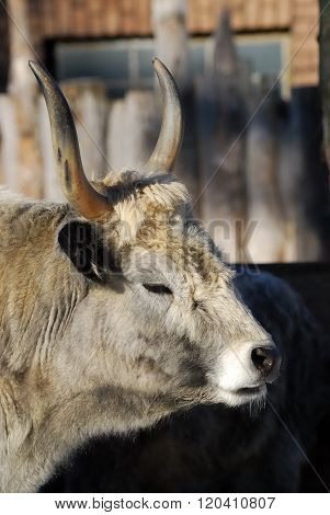 Wild cow in a zoo. Buffalo with large horns.