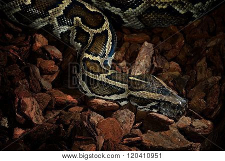 Tiger python Python reticulatus slithering through dry tree bark in low key light