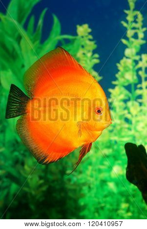 Bright orange Discus fish Symphysodon spp. in aquarium