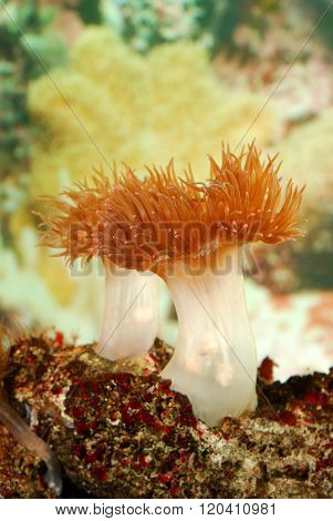 Sea anemones growing in saltwater aquarium. Tropical sea underwater scene.