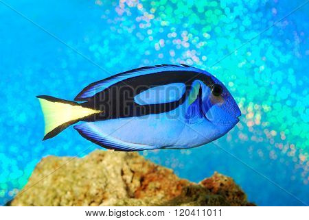 Blue surgeonfish Palette surgeonfish in an aquarium over bright cyan background