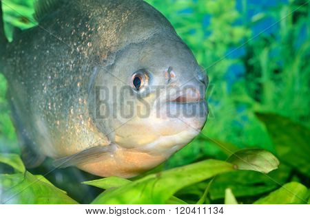 Piranha carnivorous fish in fresh water environment with green plants