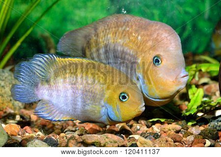 Cichlasoma sajica fish couple T-bar cychlid in natural environment with green plants