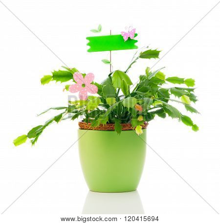 Schlumbergera Plant