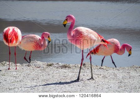 Flamingos In The Wild